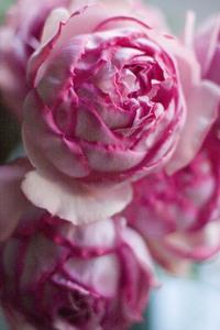 rose-syarapoa.jpg